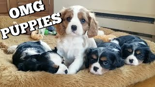 CAVALIER PUPPIES | Visiting Milton's nieces and nephews