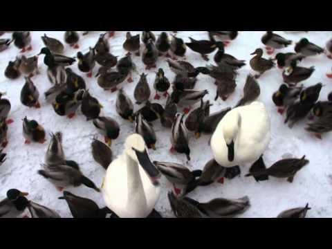 Feeding Swans, Geese, Ducks, Pigeons & Seagulls on ice