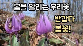 봄소식 전하는 봄 야생화. 이 꽃이 피면 봄이 온다. …