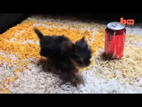 the-world's-smallest-dog-tiny-dog-terrier