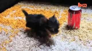 The World's Smallest Dog  Tiny Dog Terrier