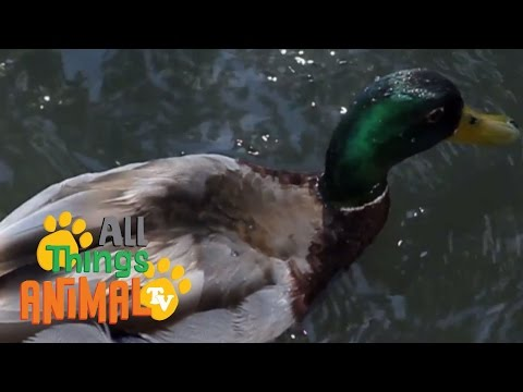 * DUCK * | Animals For Kids | All Things Animal TV