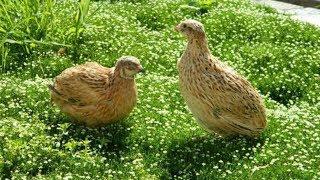 ПЕРЕПЕЛ ФЕНИКС. Обзор птицы на ферме  Хозяйство ЛПХ СВОИ ПЕРЕПЕЛА
