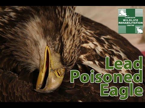 Lead Poisoned Bald Eagle