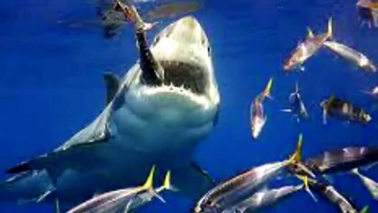 tiger shark life cycle diagram fujitsu ten wiring honda of a youtube