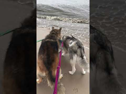 Husky's first time to the beach