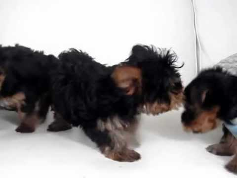 Tiny Toy Size Yorkie Puppies For Sale Youtube