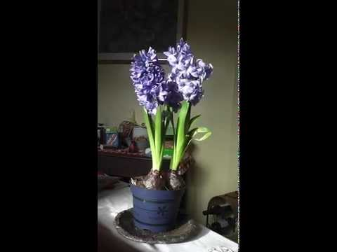 the-scent-of-the-hyacinth