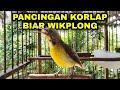 Kolibri Kelapa Gacor Korlap Gacor Ngalas Wikplong  Mp3 - Mp4 Download