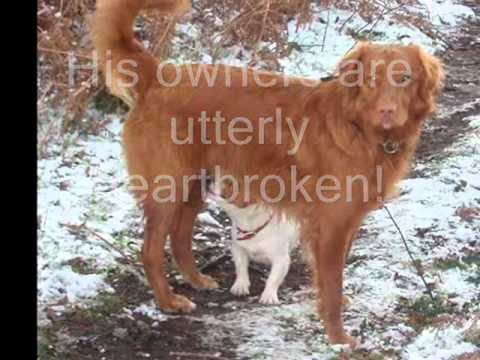 The Most Missed Dog In The UK - Lost Toller Harvey