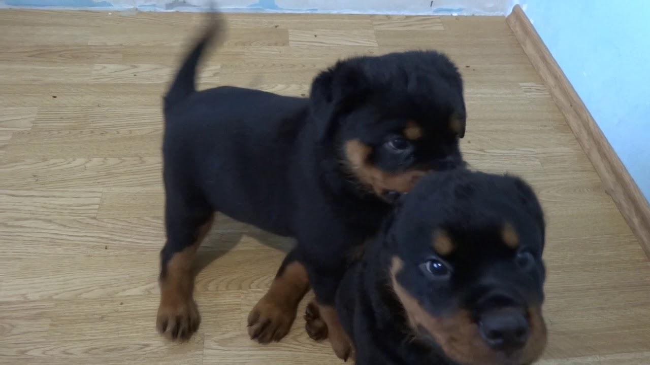 Rottweiler Puppies One Month Old A Litter Youtube