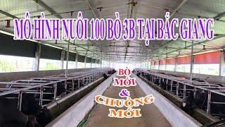 THĂM QUAN MÔ HÌNH CHĂN NUÔI 100 BÒ 3B VỖ BÉO TẠI BẮC GIANG