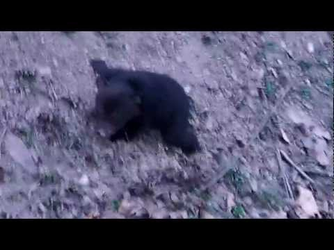 black bear cub crying