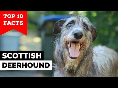 Шотландский дирхаунд - 10 главных фактов