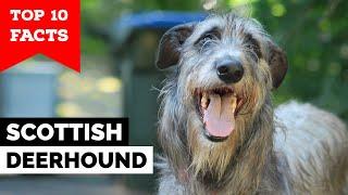 Scottish Deerhound - Top 10 Facts