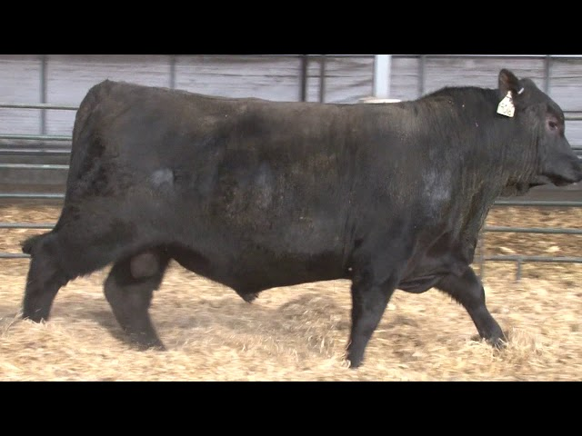 Schiefelbein Angus Farms Lot 260