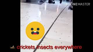 Thousands of cricket insects in haram