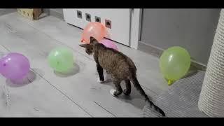 Raffael & Ragnar (Devon Rex) Balloons