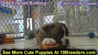 Olde English Bulldog, Puppies, For, Sale, In, Olathe, Kansas, County, Ks, Fairfield, Litchfield, Mid