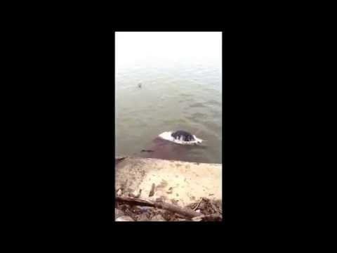 River monster found in the Ohio river