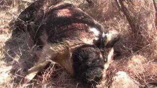Texas Hog Hunting with Dogs