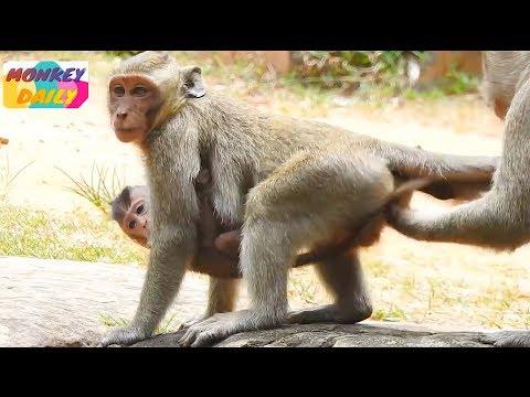 Little monkey DyDy catch Brutus Jr so long|Jill follow him but no chance get back|Monkey Daily 828