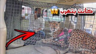 اخيرا الفهد ( شيخه ) 🐆 وصلت مزرعتي !!  ولكن صارت مشكله 💔
