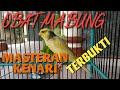 Obat Mabung Masteran Kenari Gacor Cara Memancing  Mp3 - Mp4 Download