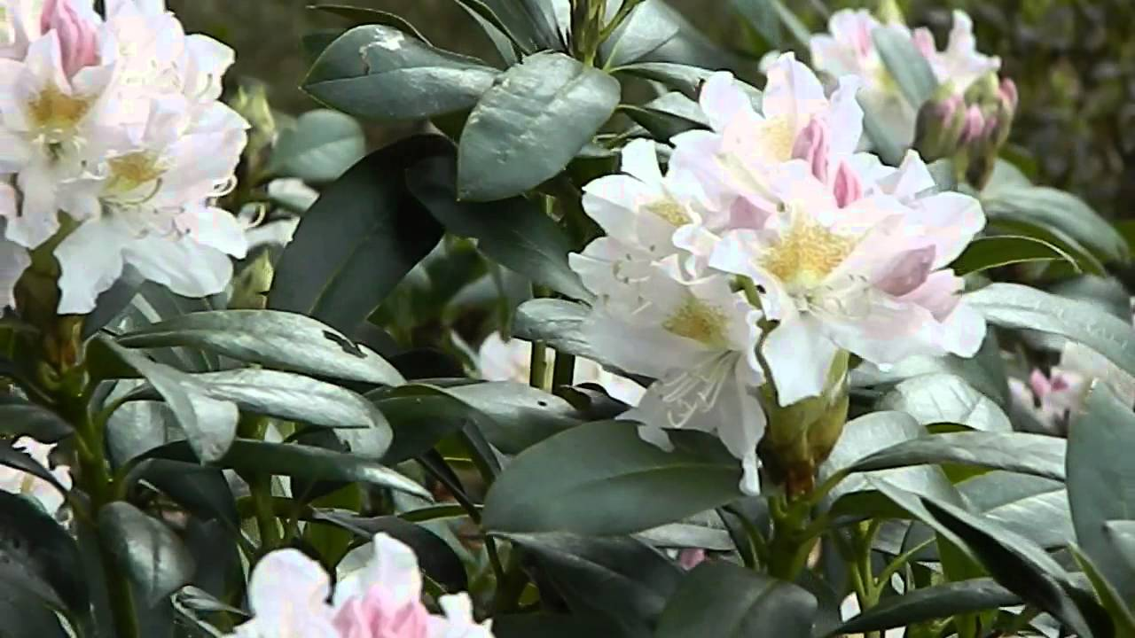 rhododendron cunningham 39 s white youtube. Black Bedroom Furniture Sets. Home Design Ideas