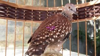 Bẫy chim cu gáy | Tiếng chim cu gáy mồi kích bổi đá lụp thumbnail