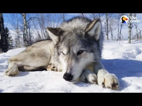 LIVE: Rescued Wolf Dogs at Yamnuska Wolfdog Sanctuary | The Dodo