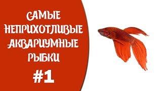 """Самые неприхотливые аквариумные рыбки #1. Мультобзор """"Петушки""""."""