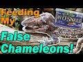 Feeding my False Chameleons!