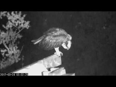 Osprey Savannah GA 03/24/2017 03:02am Nighttime activity