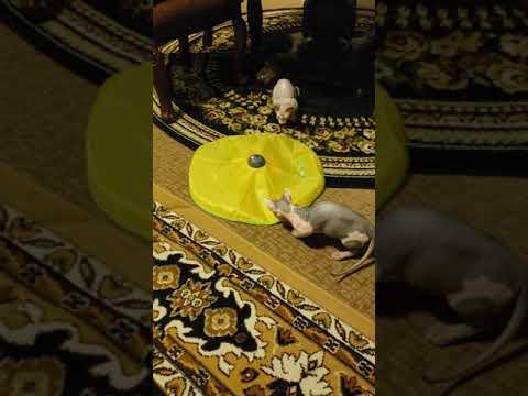 4 month old Bambino kittens playing.
