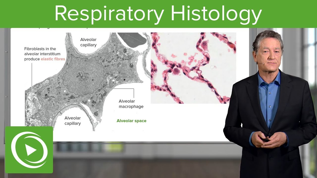 Respiratory Histology – Histology | Lecturio