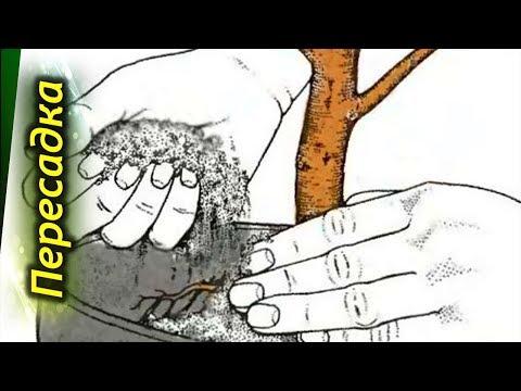 В какой горшок и грунт нужно посадить кофейное дерево. Посадка, пересадка и размер горшка.