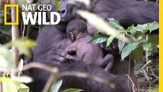 See Rare Video of Wild Gorilla Newborn Clinging to Its Mom | Nat Geo Wild