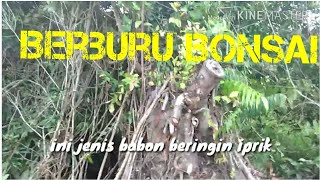 Video Berburu bonsai dongkelan Beringin di alam download MP3, 3GP, MP4, WEBM, AVI, FLV Juni 2018