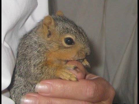 Pet Squirrel- the adventures of little Chester