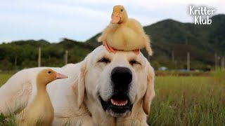 Retriever Dog And Ducklings Can't Live Without Each Other Now (Part 1 ) | Kritter Klub