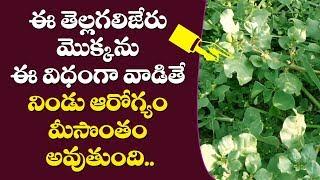 తెల్ల గలిజేరు  ఉపయోగాలు    tella galijeru plant uses in telugu   atikamamidi uses in telugu