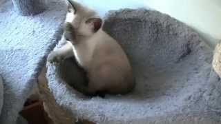 Thai kittens (Traditional Siamese / old-style Siamese) 2014, part 4