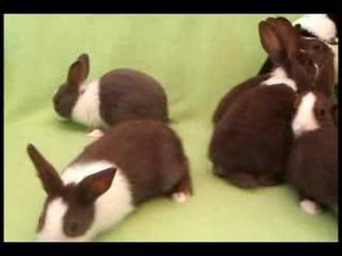 Litter of Dutch Rabbits