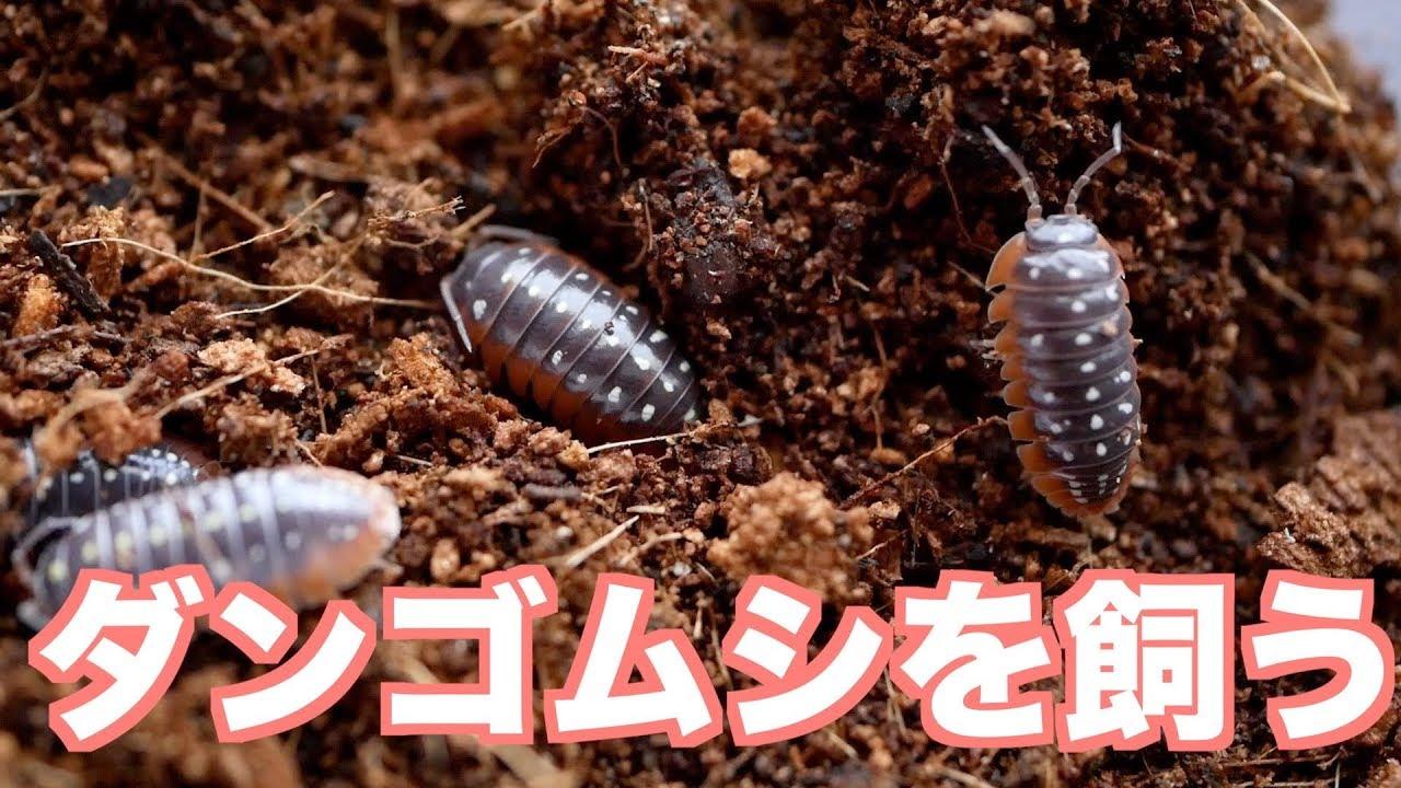 ダンゴムシ 飼育