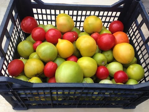 Как правильно хранить зеленые помидоры чтобы они покраснели