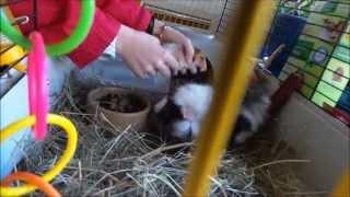 Hamster meets Guinea pig (MUST WATCH)