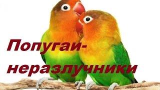 Попугаи-неразлучники. Пение неразлучников