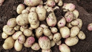 Allotment Diary : How to grow potatoes in containers for an earlier crop