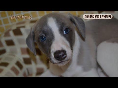 Conosciamo i Whippet - Amico cane